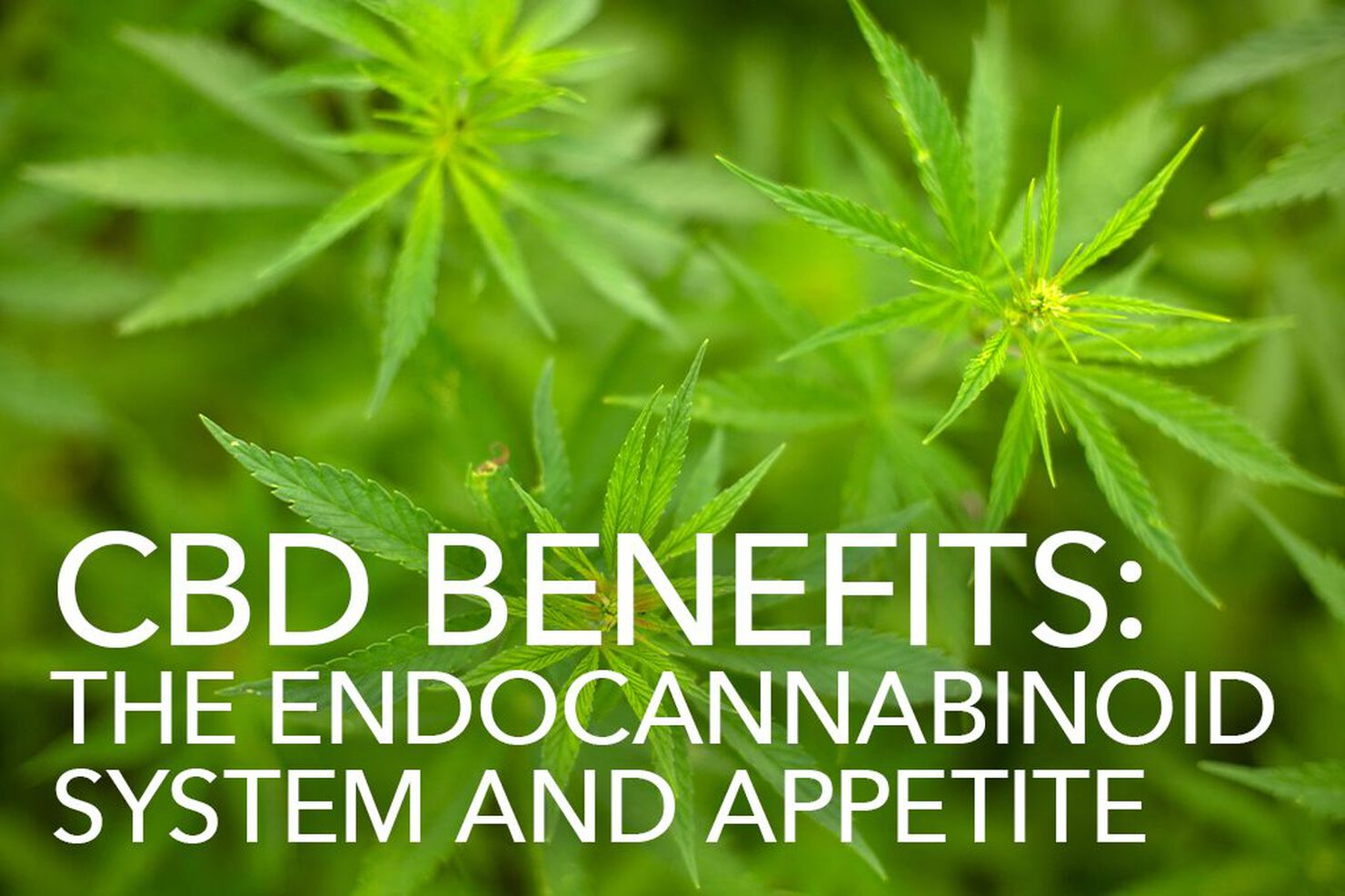 CBD Benefits: The Endocannabinoid System and Appetite
