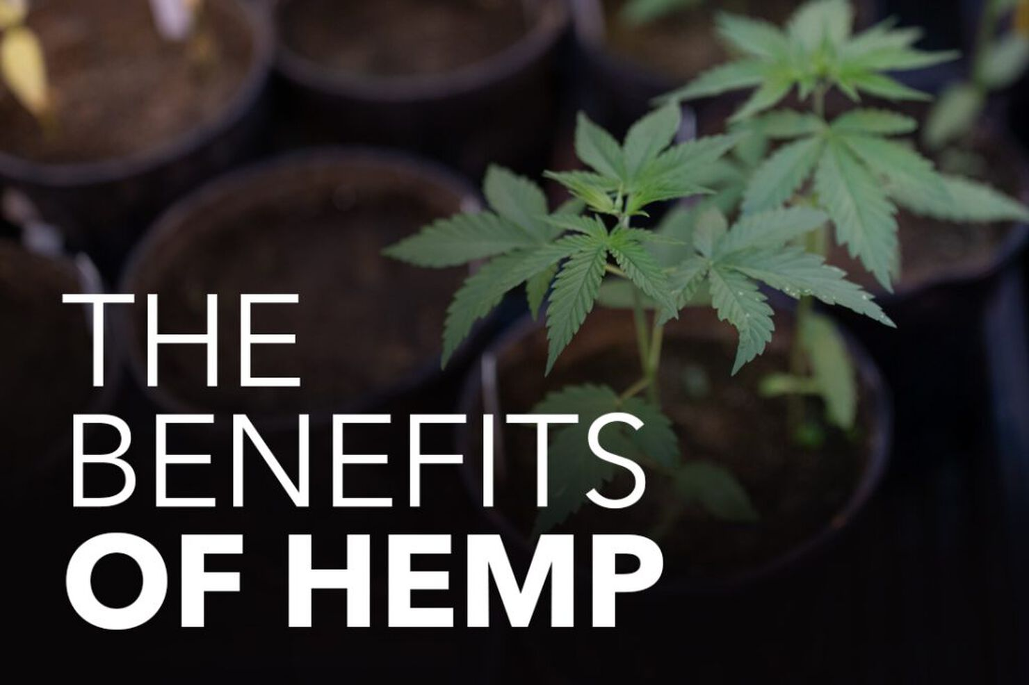 Hemp Oil Benefits & Uses: What Are the Health Benefits of Hemp Oil?
