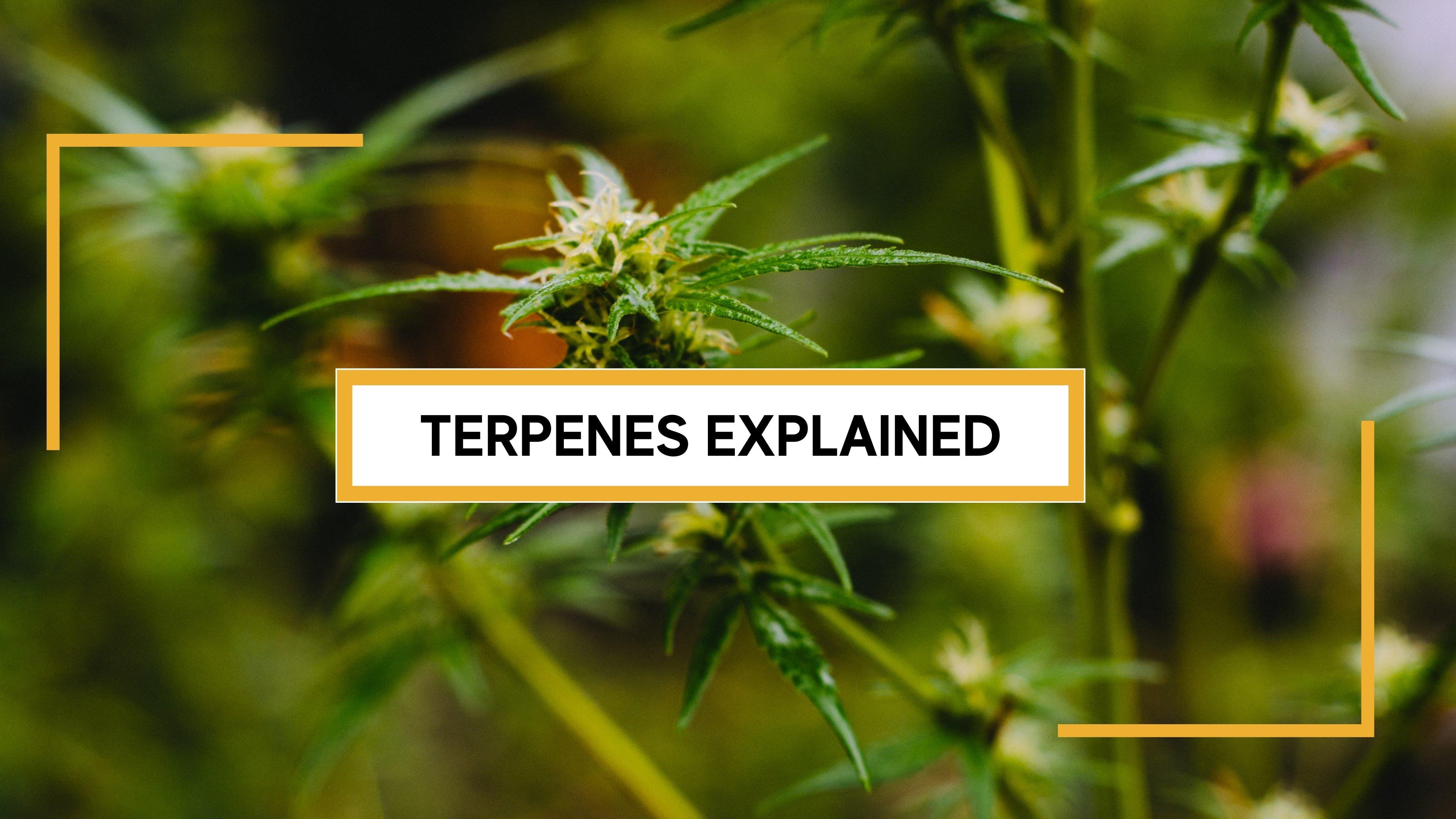 Terpenes Cannabis Plant
