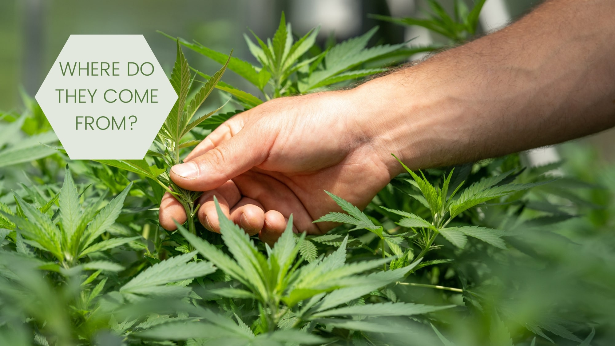 cannbis plant where do thc and cbd come from